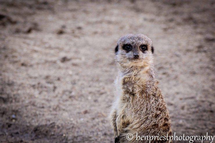meerkat weekly photo